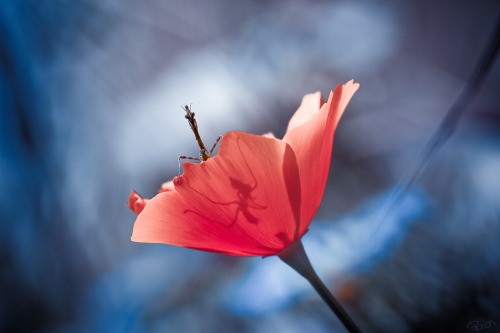 梦见孕妇梦到绣花在绣凤凰