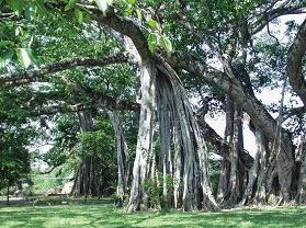 德宏独树成林